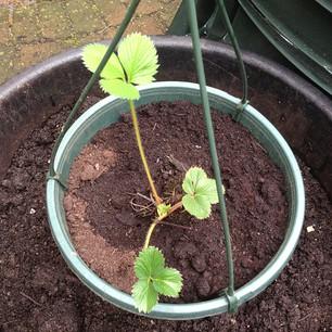 Aardbeienplantje 2 weken later