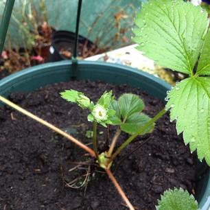 aardbeienplantje met bloesem
