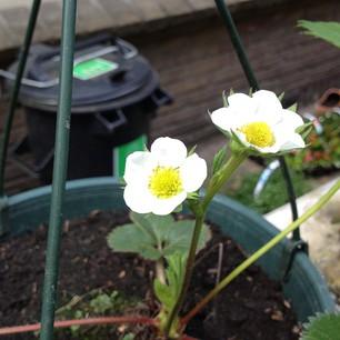 aardbeiplantje met bloemen