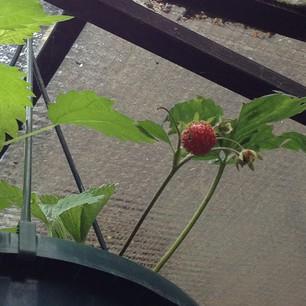 Dagboek van een Aardbeienplantje