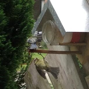 vechtende vogels