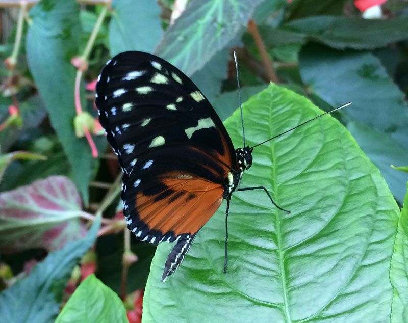 bt06 Vlinders in de Botanische Tuinen