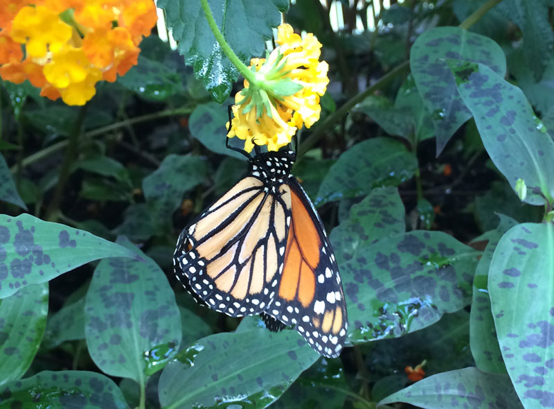 bt09 Vlinders in de Botanische Tuinen