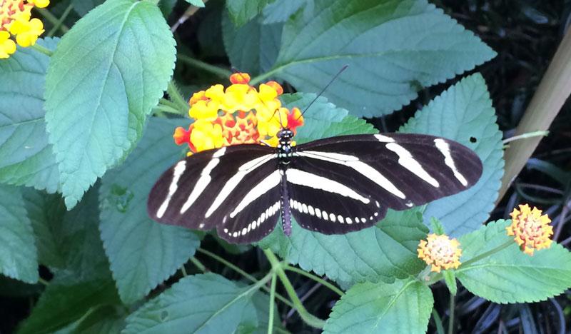 Vlinders in de Botanische Tuinen