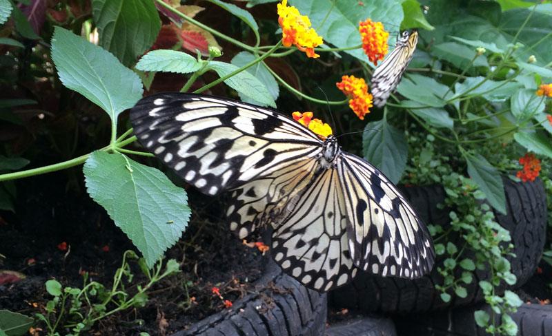 bt17 Vlinders in de Botanische Tuinen