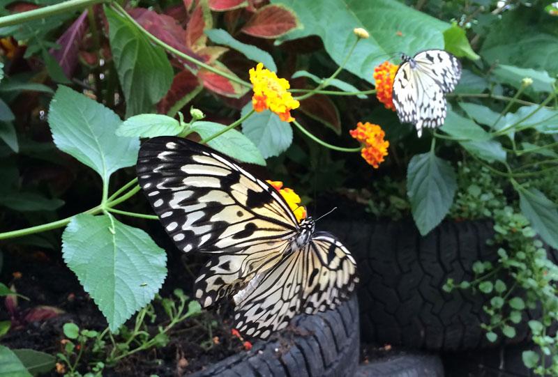 bt18 Vlinders in de Botanische Tuinen