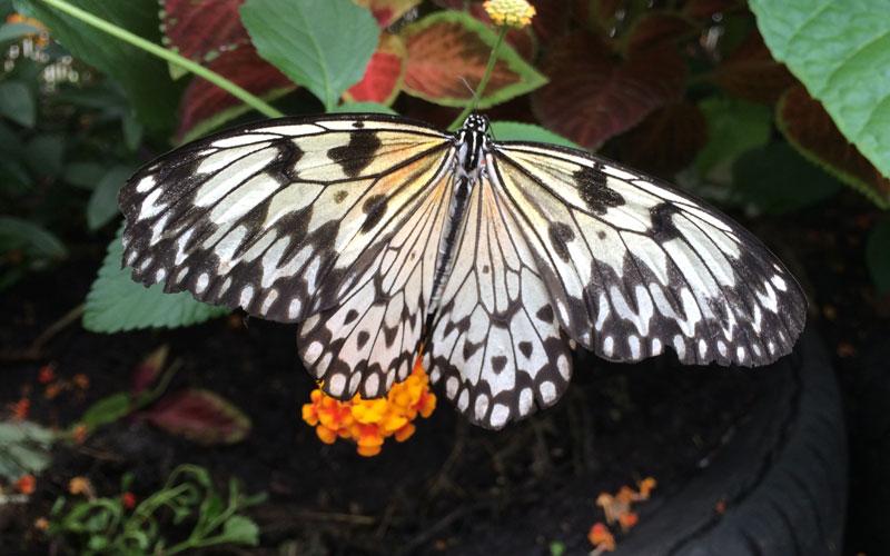 bt19 Vlinders in de Botanische Tuinen