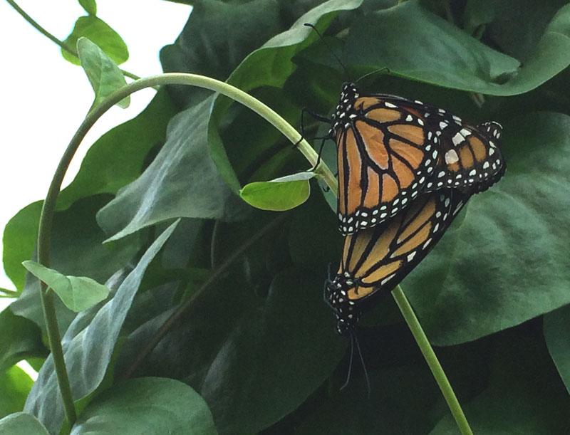 bt20 Vlinders in de Botanische Tuinen