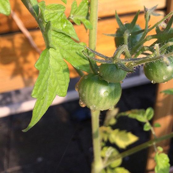 tomaatjes