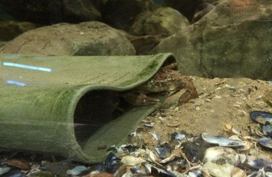 Krab in laars
