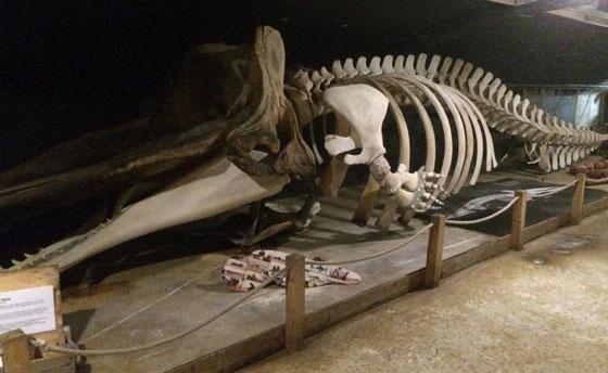 skelet potvis