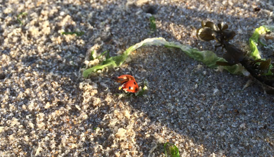 strandwandeling Lieveheersbeestje