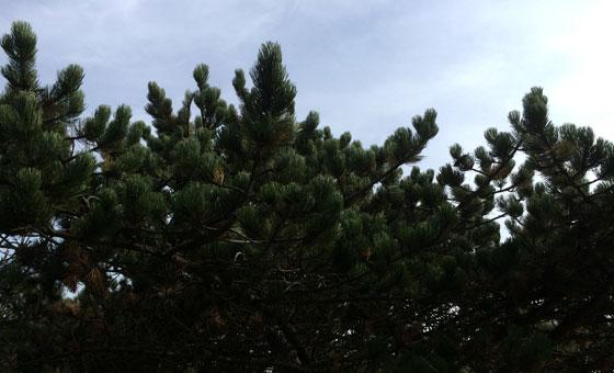 Naaldbomen aan zee