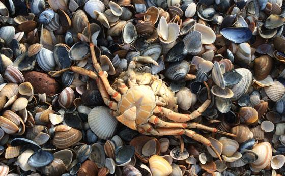 Schelpen en krab