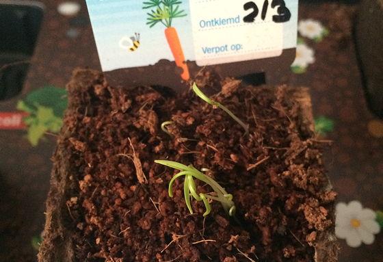 Dagboek van een Moestuintje worteltjes aan het groeien