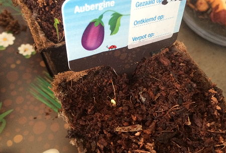 Dagboek van een Moestuintje aubergine ontkiemd