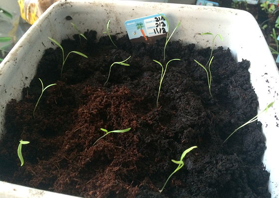 Dagboek van een Moestuintje wortels uitgeplant