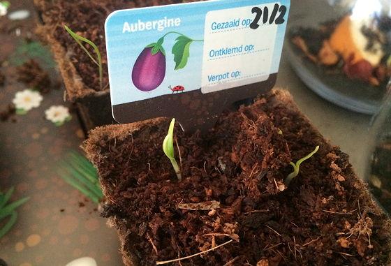 Dagboek van een Moestuintje aubergine gaat nu goed