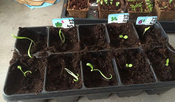 Dagboek van een Moestuintje spinazie, veldsla en aubergine