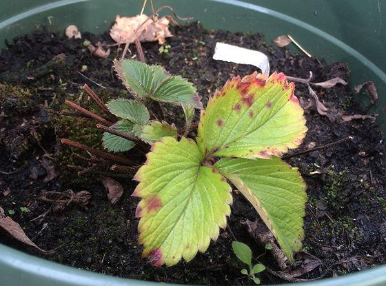Dagboek van een Moestuintje 07 aardbeienplantje van vorig jaar