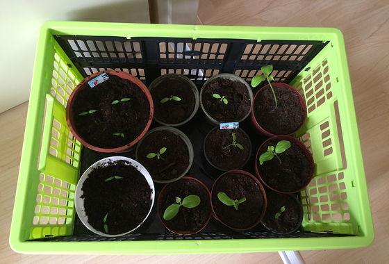 Dagboek van een Moestuintje 07 verhuizing komkommerplantjes