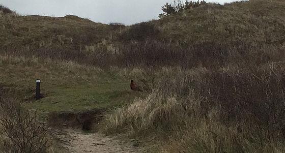 Wandeling De Muy op Texel fazant