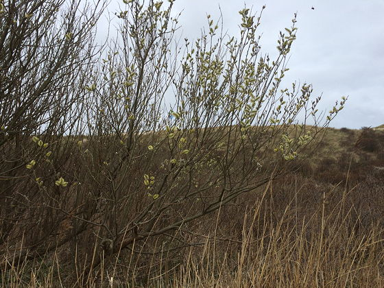 Wandeling De Muy op Texel katjes in bloei