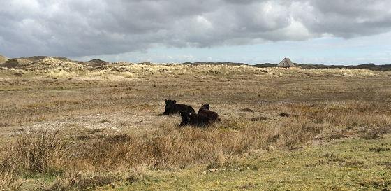 Wandeling De Muy op Texel Galloway koeien