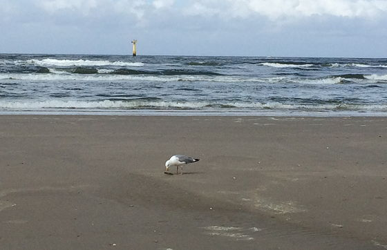 Wandeling De Muy op Texel meeuw eet scheermesje