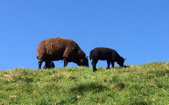 Den Burg, Oudeschild en Strandwandeling De Koog het zwarte schaap en lam