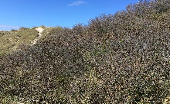 Huifkartocht en Wandeling over Strand en door Duinen duindoorn