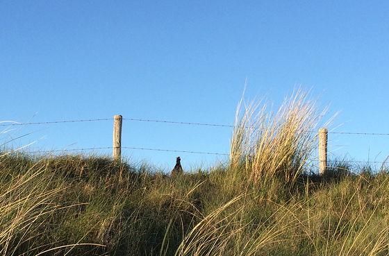 Huifkartocht en Wandeling over Strand en door Duinen fazant