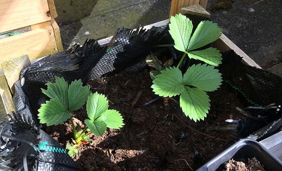 Dagboek van een Moestuintje 10 aardbeienplantjes