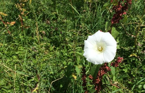 Ploggen Wandeling De Blauwe Kamer witte bloem