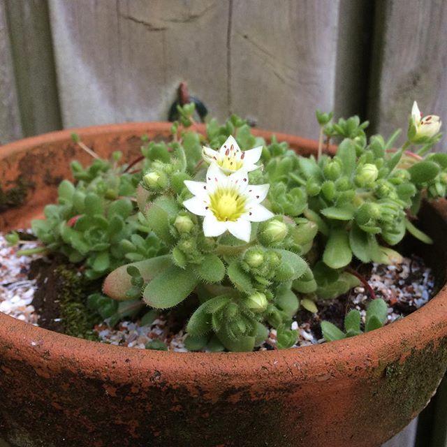 vetplantje in bloei