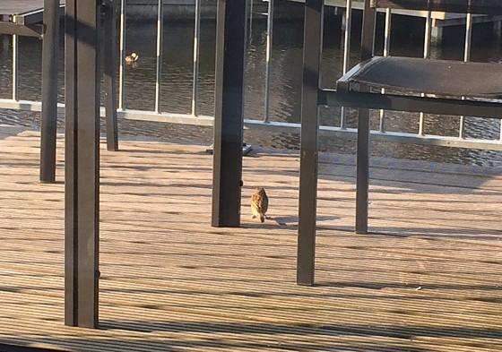 Ploggen 17 Juli 2015: Grou en Wandelen bij Sneekermeer musje
