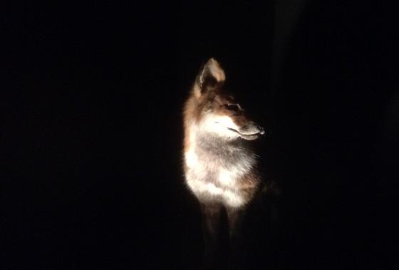 Ploggen 18 Juli 2015: Frysk Landbouwmuseum en Alde Feanen Earnewald vos