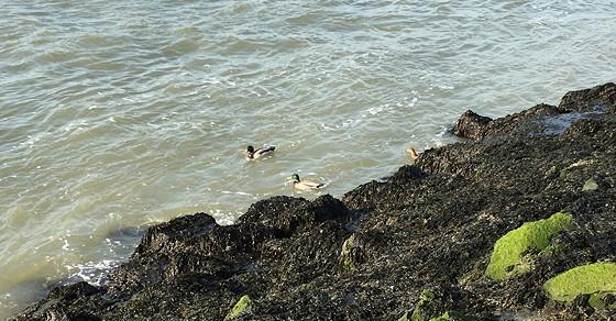 Ploggen 10 Maart 2016: Wandeling op de pier en op visite eendjes