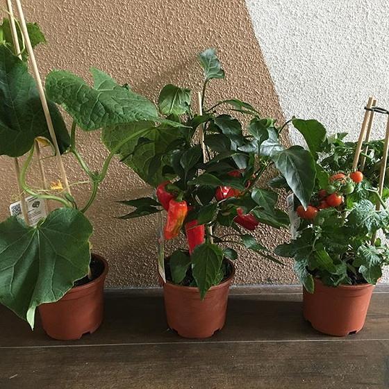 paprika, komkommer, tomaat