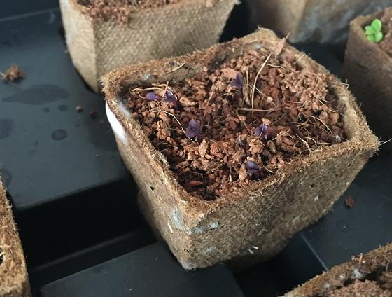 Dagboek van een Moestuintje paarse basilicum