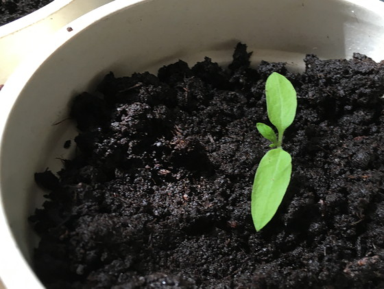 Dagboek van een Moestuintje tomaatplantjes