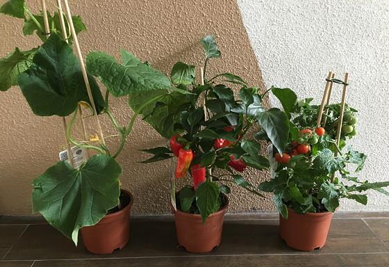 Dagboek van een Moestuintje komkommerplant, paprikaplant, tomaatplant