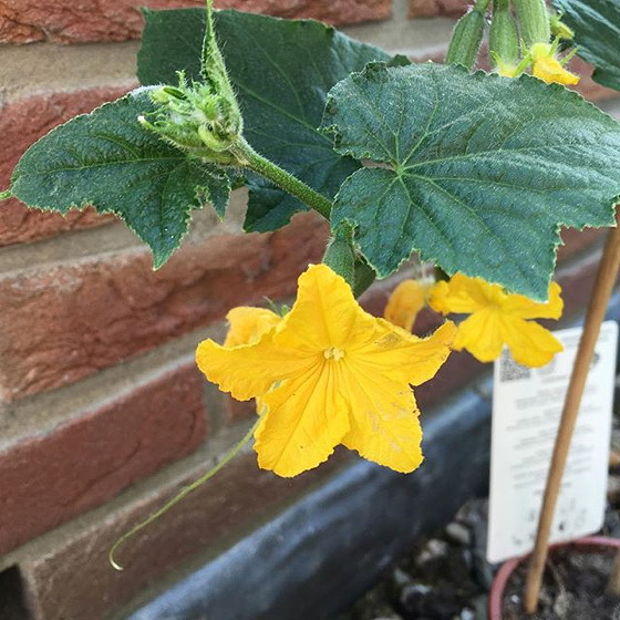 bloem komkommerplant