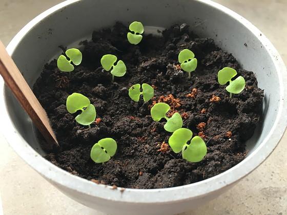 groene basilicum