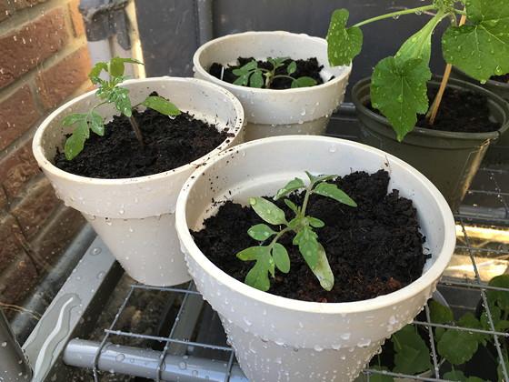 Dagboek van een Moestuintje 2016-07 tomaatplantjes