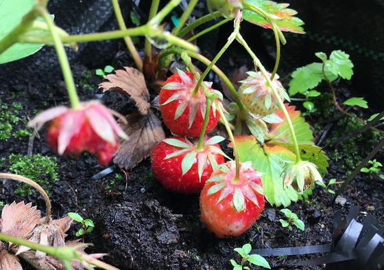 Dagboek van een Moestuintje 2016-10: Mislukte Oogst aardbeien