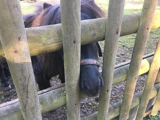 Ploggen 16 Oktober 2016: naar Hochwildpark Rheinland shetland pony