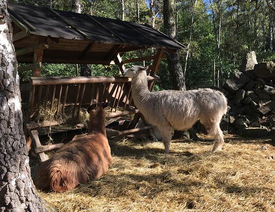 Ploggen 16 Oktober 2016: naar Hochwildpark Rheinland lama