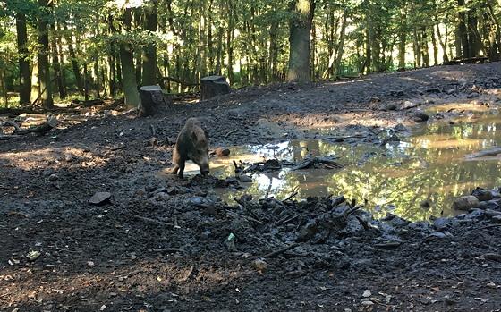 Ploggen 16 Oktober 2016: naar Hochwildpark Rheinland zwijn